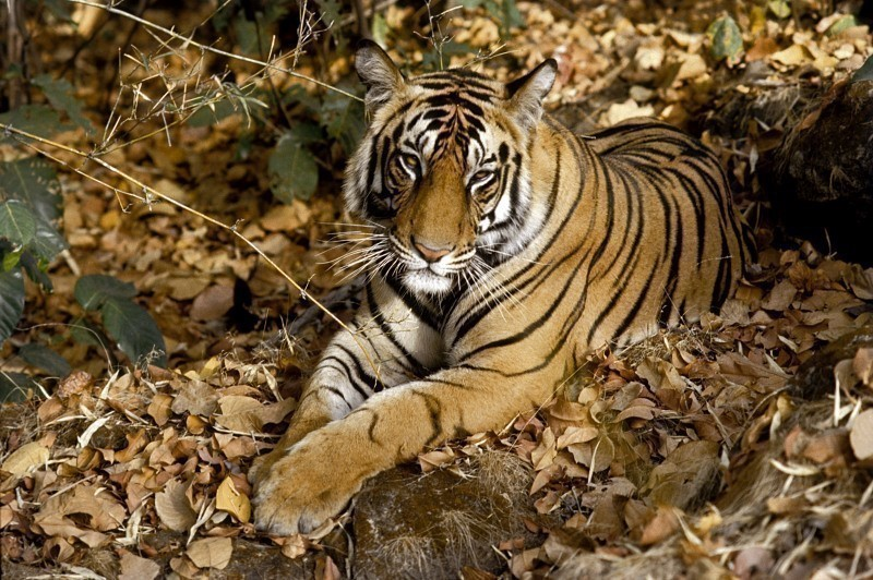 TigerPhoto